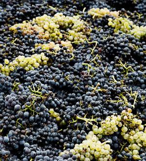 Seyval Blanc
