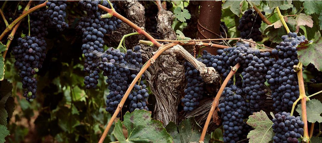 Old-vine grapes at Bedrock