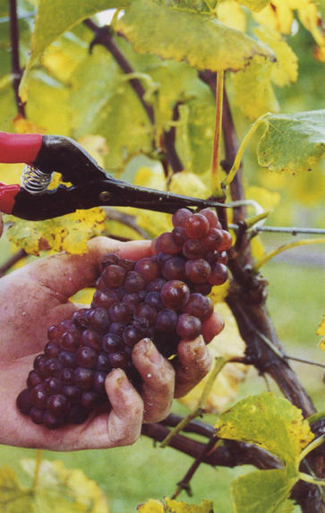 Pinot Noir from around the World, Friday 25th October 2019