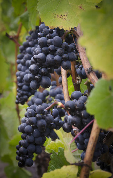 Pinot Noir Lunch, Friday 14th February 2020